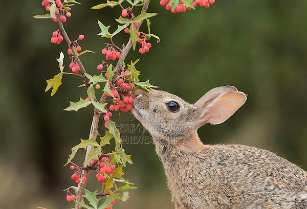Eastern Cottontail (Sylvilagus floridanus), adult eating Agarita (Berberis trifoliolata) berries, South Texas, USA