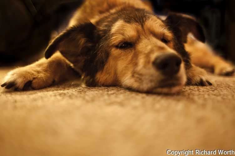 Minnie, a German Shepherd mix, long ago a rescued pup, but now 17 or so years old, dozes - just barely.  The epitome of content.
