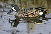 Blue-winged Teal eating weeds from a pond
