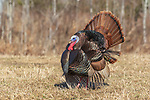 Male eastern wild turkey displaying in a northern Wisconsin field.