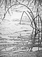 A fine art nature abstract in black-and-white of two grasses curving over into the marsh waters in Merced Wildlife Refuge, California.  Reflections of tall grasses appear in the water in the background.