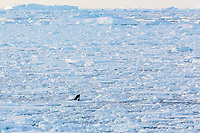 killer whale or orca, Orcinus orca, Type B orca, hunting for seals in heavy pack ice near the Antarctic Peninsula, Antactica, Southern Ocean