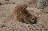 0215-08uu  Meerkat Digging Burrow, Suricata suricatta © David Kuhn/Dwight Kuhn Photography