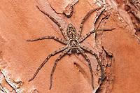 A male Huntsman Spider (Heteropoda venatoria) perches on the trunk of a pine tree, Highlands Hammock State Park, Sebring, Florida.