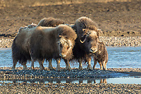 Muskox cow and calf of the year on the gravel bar of the Sag river in the Arctic North Slope, Alaska.