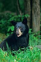 Black Bear (Ursus americanus) cub near forest edge.