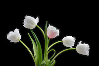 Fringed white tulip