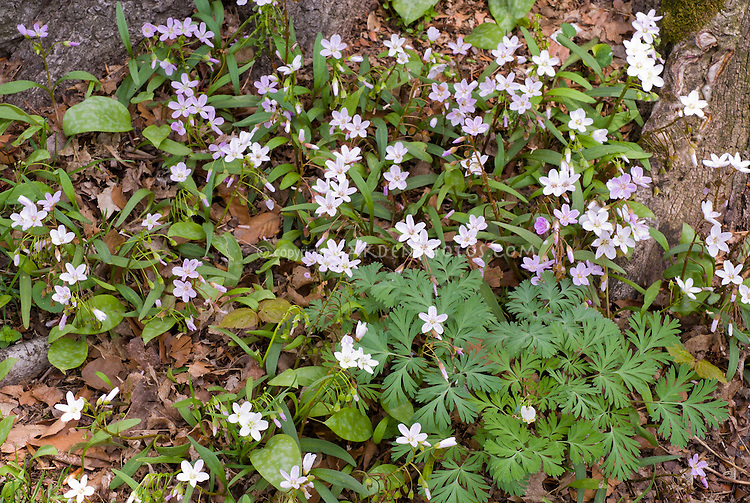Claytonia virginica, Dicentra canadensis in the wild