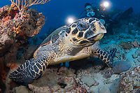 Scuba Diver and Hawksbill Sea Turtle (Eretmochelys imbricata) in Juno Beach, Florida.