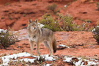 Coyote standing on the red rocks of Utah with snow falling - CA