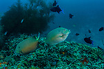colorful tropical reefs, healthy reefs, reefscapes, Siganus stellatus, Stellate rabbitfish, Wide Angle
