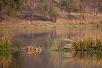 Bengal tigers - NEW