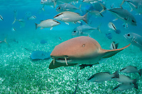 nurse shark, Ginglymostoma cirratum, crevalle jacks, Caranx hippos, gray snappers, Lutjanus griseus, and snorkeler, Shark Ray Alley, Ambergris Caye, Belize, Central America (Caribbean) (do)
