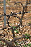 Domaine Le Nouveau Monde. Terrasses de Beziers. Languedoc. Vines trained in Cordon royat pruning. Terroir soil. In the vineyard. France. Europe.