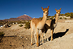 Vicuna (Vicugna vicugna) crias, illegally kept in captivity for their fine wool, Loma Blanca, Abra Granada, Andes, northwestern Argentina
