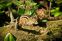 """""""Eastern Chipmunk""""<br /> <br /> The mischievous chipmunk is a common forest animal that delights many hikers and campers in the northern woods."""