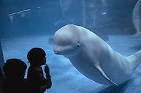 beluga whale, Delphinapterus leucas, (c), Yokohama, Japan