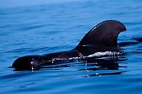 male short-finned pilot whale, Globicephala macrorhynchus, Hawaii, Pacific Ocean