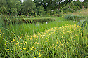 Greater spearwort (Ranunculus lingua) at the edge of the Upper Pond, Fairlight End, Pett, East Sussex, late June.