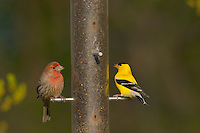 Male House Finch and male American Goldfinch use a sunflower seed bird feeder.  Great Lakes region.