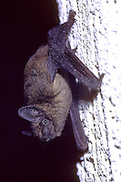 Dwergvleermuis (Pipistrellus pipistrellus) tegen muur