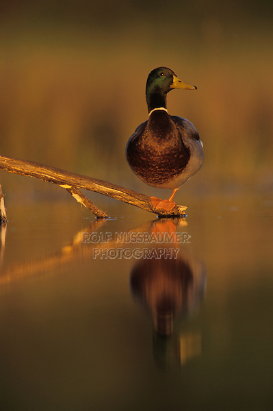 Mallard, Anas platyrhynchos , male, Lake Corpus Christi, Texas, USA