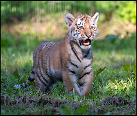 BNPS.co.uk (01202 558833)<br /> Pic: PhilYeomans/BNPS<br /> <br /> Longleat's critically endangered Amur Tiger cubs get their first trip outside.<br /> <br /> And as they are one of the world's most endangered species it's no wonder mum Yana, appeared so protective of her precious young.<br /> <br /> The 3 month old cubs are part of a Europe wide breeding program designed to save the beautiful but incredibly rare Siberian tiger.<br /> <br /> The two cubs, a male called Rusty and Yuki, a female, were born at Longleat Safari Park in June this year - the first tigers born at the Wilshire park for nearly 20 years.<br /> <br /> With only around 500 Amur tigers left in the wild they signal fresh hope for the survival of this breed, the largest cat's in the world.