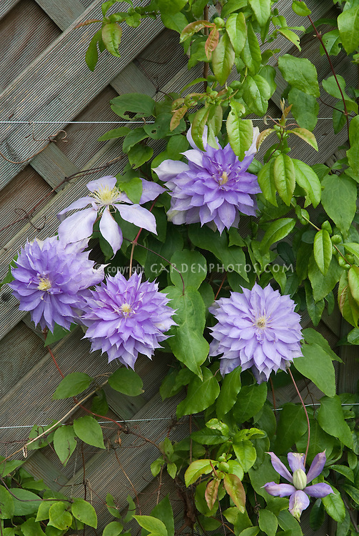 Clematis 'Countess of Lovelace'