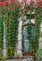 Old building facade draped with dense ivy, St Paul de Vance, Provance, France