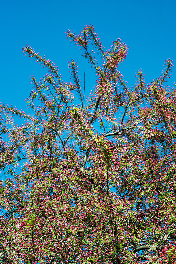 Flowering cherry tree in spring, New Jersey, USA