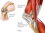 Muscles of the Knee Joint - Medial View.