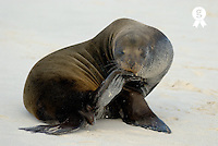Male sea lion (Zalophus californianus wollebaeki) on beach, close-up (Licence this image exclusively with Getty: http://www.gettyimages.com/detail/200482553-001 )