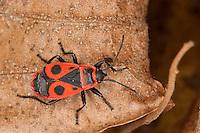 Gemeine Feuerwanze, Feuer-Wanze, Feuer - Wanze, Pyrrhocoris apterus, firebug