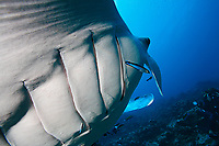 manta ray, Mobula alfredi, Maldives, Indian Ocean