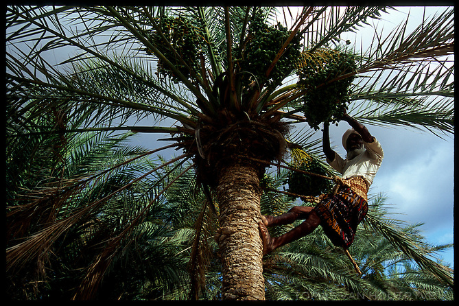 Using a woven sling to balance himself, a man collects unripe palm dates in Socotra, Yemen on Saturday, 14 May 2005.<br />
