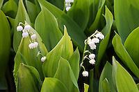 Gewöhnliches Maiglöckchen, Mai-Glöckchen, Convallaria majalis, Life-of-the-Valley, Muguet