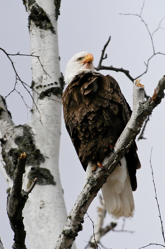 American Bald Eagle perche in a birch tree.