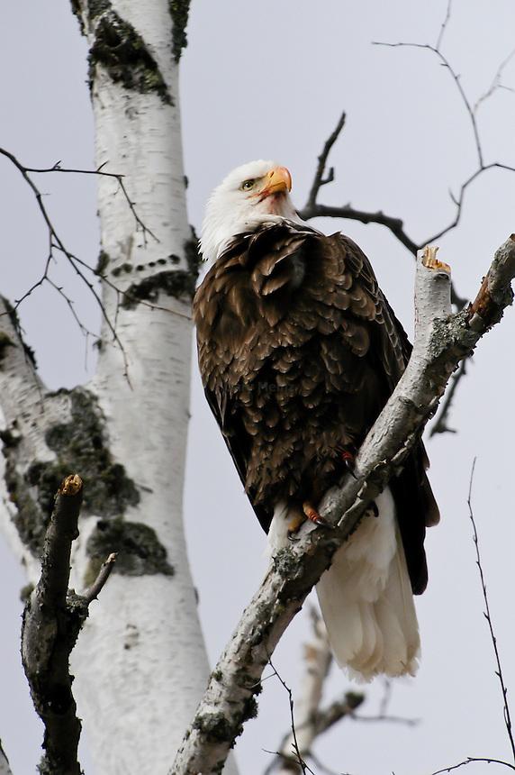 American Bald Eagle perche in a birch tree.
