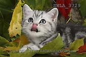 Carl, ANIMALS, photos(SWLA3729,#A#) Katzen, gatos