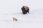 Adult red fox (Vulpes vulpes) walking through broken deep snow disturbed by grazing American bison (Bison bison). Hayden Valley, Yellowstone, USA. January