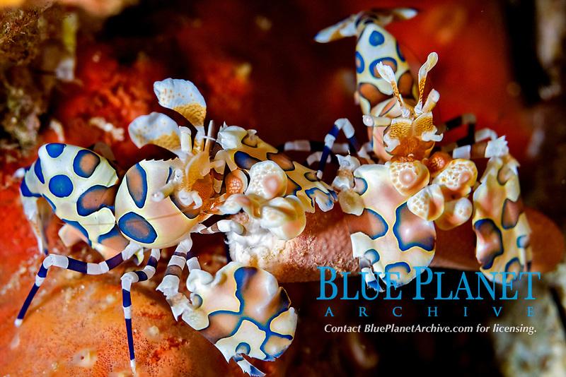 Harlequin shrimp ( Hymenocera picta ) feeding on a sea star at Richelieu Rock, Surin National Park, Andaman Sea, Thailand