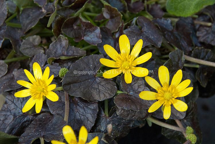 Ficaria verna 'Brazen Hussy' aka Ranunculus Brazen Hussy in spring bloom with yellow flowers and dark purple black foliage leaves