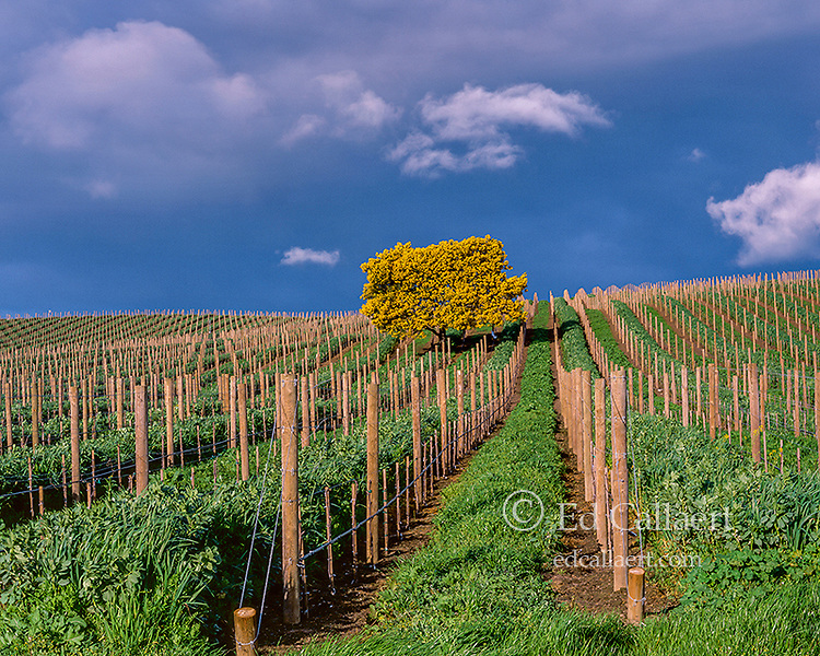 Flowering Acacia, Carneros Appellation, Napa Valley, California