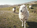 Schottland, aeussere Hebriden, Isle of Barra, Schafe, Europa, reise Travel, laif_creative<br /> <br /> Engl.: Europe, Great Britain, Scotland, Outer Hebrides, Isle of Barra, sheep, animals, landscape, May 2011