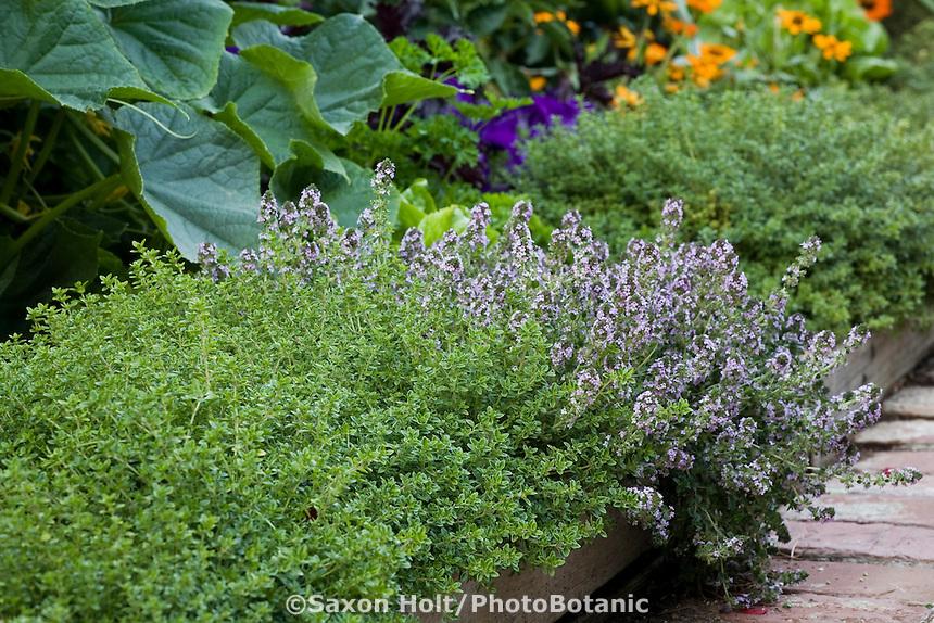 Lemon thyme (Thymus citriodorus) and flowering English thyme (T. vulgaris) bordering path in organic edible landscape garden
