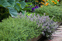 Lemon thyme (Thymus citriodorus) and flowering English thyme (T. vulgaris) bordering path in organic edible landscape garden