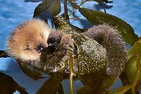 Sea Otter pup in kelp, Enhydra lutris nereis, Endangered status, in kelp, Montery Bay, California, USA