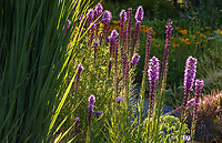 Liatris spicata - Dense Blazing Star or Button Snakewort flowering in Soest Herbaceous Display Garden, University of Washington Botanic Garden, Center for Urban Horticulture, Seattle