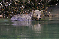 Grizzly Bear wading through the Mitchell River