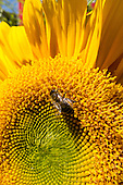 Switzerland. Sunflower and bee.